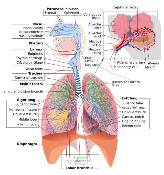 Respiratory_system_complete_en.svg_wikimedia_commons